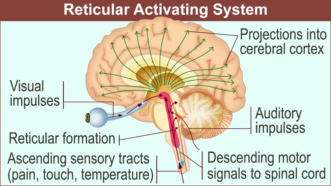 1280-reticular-activating-system